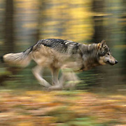Gray Wolf, (Canis lupus) In hardwood forest of northern Minnesota, running.   Captive Animal.