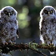Great Gray Owl, (Strix nebulosa) Fledglings perched on branch. Spring.  Montana.