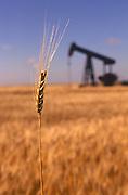 Wheat crop and an oil well share a farm field in rural Kansas.