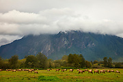 A large herd of elk (Cervus canadensis) graze in the field of Meadowbrook Farm Park in North Bend, Washington. Elk are native to the Snoqualmie Valley, but vanished due to over-hunting in the mid-19th century. They were reintroduced to the valley in 1913, although it took nearly 100 years for the herd to become substantial again.