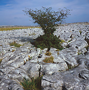 AJEM6E Limestone pavement and tree Yorkshire Dales national park England