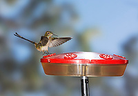 Female black-tailed trainbearer hummingbird, Lesbia victoriae, landing on a feeder near Quito, Ecuador