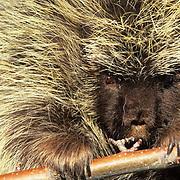Porcupine, (Erethizon dorsatum) Portrait. Captive Animal.
