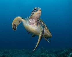 Green Turtle, Chelonia mydas, being serviced by a Bluestreak Cleaner Wrasse, Labroides dimidiatus. Raja Ampat, West Papua, Indonesia