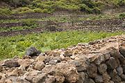 Stone terraces and Zibibbo vineyard on Pantelleria Island.