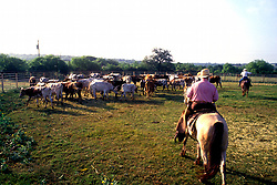 ranchers rounding up a herd of cattle