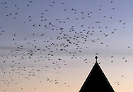 Middletown, NY -  Crows fly past the main chapel at the National Shrine of Our Lady of Mount Carmel in Middletown as they leave a staging area to fly to their roosting site on Nov. 11, 2007.