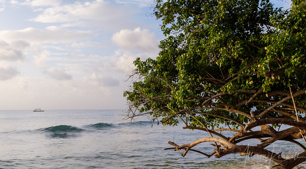 A tree leans low over the tide line at a beach in Barbados