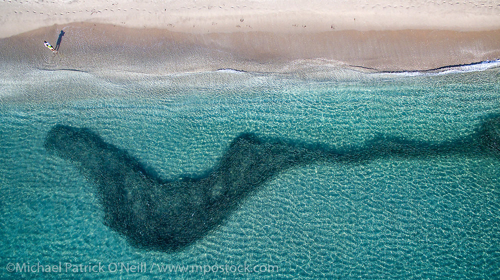 Aerial / Drone photo of a school of Striped Mullet, Mugil cephalus, making its way south along the Palm Beach County, Florida coastline during the species' annual fall migration.