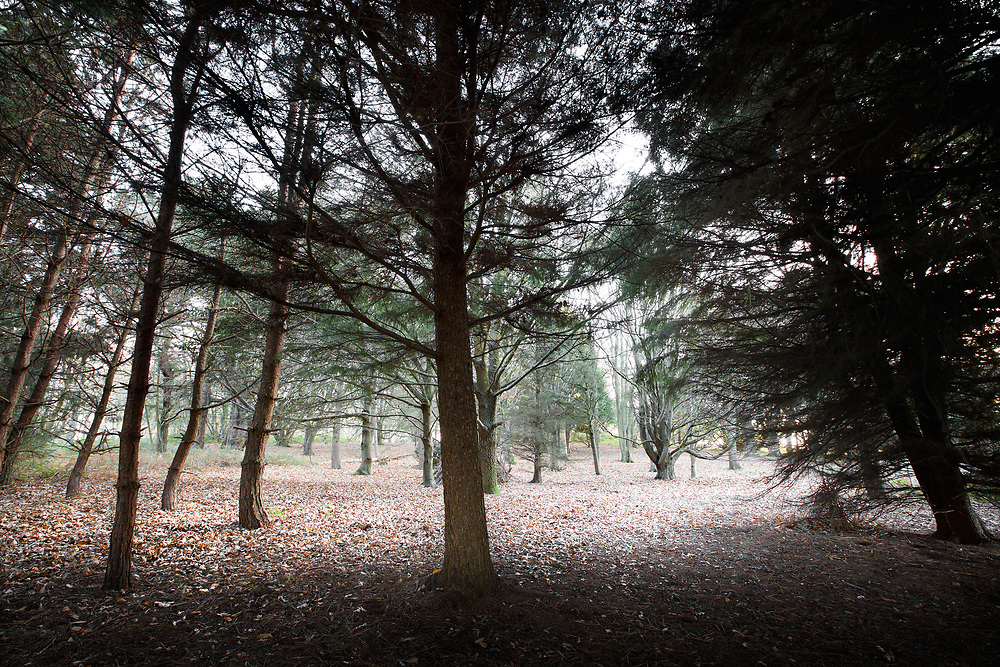 Pine forest and wintry trees at Noirmont in Jersey, Channel Islands