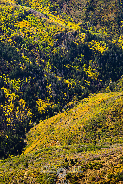 Aspen trees changing color in the early Fall on the Skyline Drive of Utah