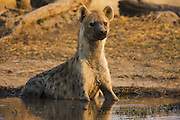 A spotted Hyena  (Crocuta crocuta)  watches with curiosity from a water hole, Khwai River, Botswana, Africa