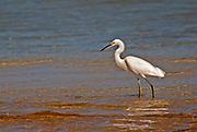 Little egret walking/fishing in shallow water, Zapata National Park, Cuba