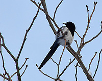 Eurasian Magpie. Image taken with a Nikon D2xs camera and 80-400 mm VR lens (ISO 100, 400 mm, f/9, 1/320 sec).