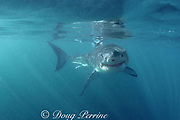 great white shark, Carcharodon carcharias, in murky water, near Dyer Island, off Gansbaai, South Africa ( Indian Ocean )