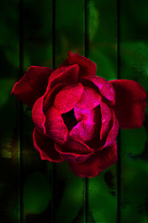 A bit of a deep Gothic and tribal fine art flare highlights this pink and red rose growing through the fence boards