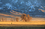 Whitetail Deer in early spring, Montana