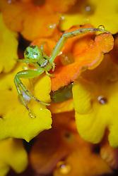 Crab spider on Texas lantana wildflowers (tentative id), Trinity River Audubon Center, Great Trinity Forest, Dallas, Texas, USA