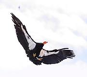 California Condor Landing on Rock, Pinnacles National Park, California