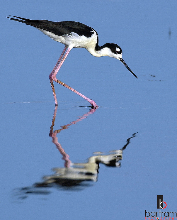 KEVIN BARTRAM/The Daily News.A bird wades through shallow water in a wetland area near the Galveton Causeway as it searches for food Monday evening.