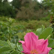 Penobscot Bay, Maine -- A Wild Rose  - or Rosa Rugosa - grows on an island near the ocean. This type of flower is closely related to the tomato plant and the fruit, or hip, which grows on the bush after the flower has bloomed, is edible, high in vitamin C and quite rich in antioxidants. Photo by Roger S. Duncan
