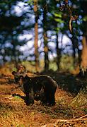 Black Bear Looking at Cubs - Smoky Mountains N.P.