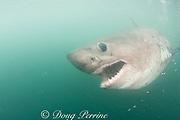 salmon shark (c), Lamna ditropis, Prince William Sound, Alaska, U.S.A. (de)