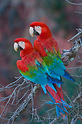 Wild, non-captive, non-habituated Red and Green Macaws in a sink hole in Mato Grosso do Sul, Brazil. Image available as a premium quality aluminum print ready to hang.