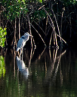 Great Blue Heron (Ardea herodias). Weedon Island. Pinellas County, Florida. Image taken with a Nikon D200 camera and 18-200 mm VR lens.