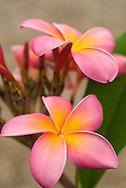Frangipani (Plumeria) blossoms, Koko Crater Botanical Garden, Honolulu, Oahu, Hawaii