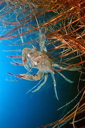 sargassum swimming crab, .Portunus sayi, .Hawaii (Pacific) (c).