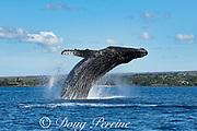 humpback whale, Megaptera novaeangliae, breaching, Kihei, Maui, Hawaii, Hawaii Humpback Whale National Marine Sanctuary, USA ( Central Pacific Ocean )