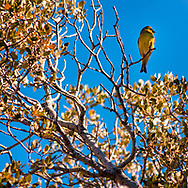 A small yellow songbird perches in the California desert sunshine, framed by the branches and yellow leaves of a tree against blue sky<br />