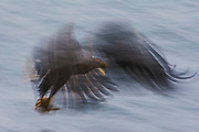 A motion-blur of a Japanese White-tailed sea eagle (Haliaeetus albicilla) and a Steller's sea eagle (Haliaeetus pelagius) colliding in flight while catching a fish on the ocean surface, Raisa, Hokkaido, Japan