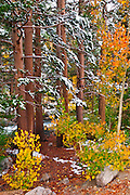 Snow on fall aspens and pines along Bishop Creek, Inyo National Forest, Sierra Nevada Mountains, California USA