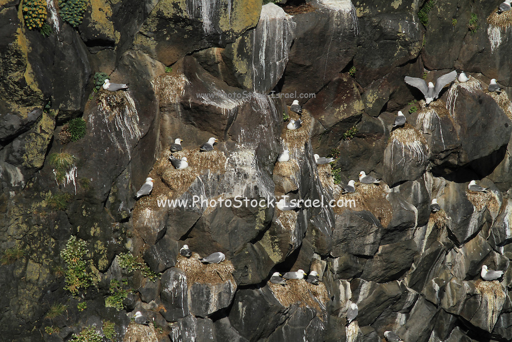 A colony of Black-legged Kittiwake (Rissa tridactyla) on the cliff. Photographed in Iceland, snaefellsnes peninsula, breioavik bay In June