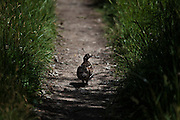 Female ruffed grouse on the Slough Creek Trail, Yellowstone National Park, Wyoming.