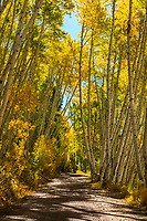 Golden yellow aspen trees during Fall colors in Southwest Colorado line a dirt road through the hills.