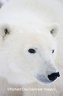 01874-108.01 Polar Bear (Ursus maritimus)  Churchill, MB Canada