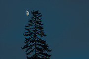 Half Moon and lone Douglas Fir tree (Pseudotsuga menziesii)