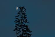 Half Moon and lone Douglas Fir tree (Pseudotsuga menziesii)