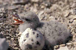 Black Skimmer (Rynchops niger) chick with egg on nest.