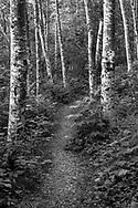 Red Alder (Alnus rubra) trunks lining a path near Deer Lake in Sasquatch Provincial Park - near Harrison Hot Springs, British Columbia.