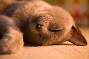 Close up of sleeping burmese cat lying on carpet