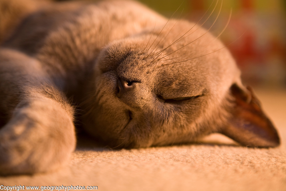 Close up of sleeping burmese cat lying on carpet