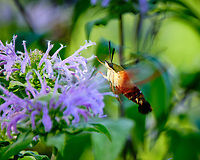 Hummingbird Clearwing Moth (Hemaris thysbe). Image taken with a Fuji X-T2 camera and 100-400 mm OIS lens