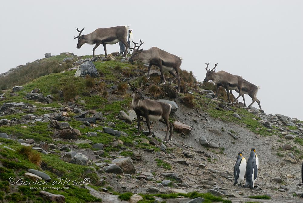 Elk, descended from animals imported by Swedish explorer Otto Nordenskjöld, walk among King Penguins at Saint Andrews Bay, South Georgia, Antarctica.