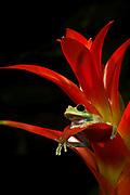Maroon Big Eye Tree Frog (Leptopelis sp.), IUCN Red List 2004