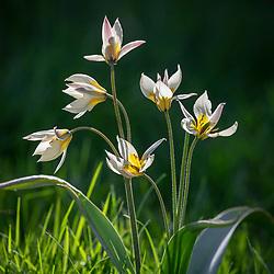 Tulipa turkestanica AGM  - Turkestan tulip - growing in long grass