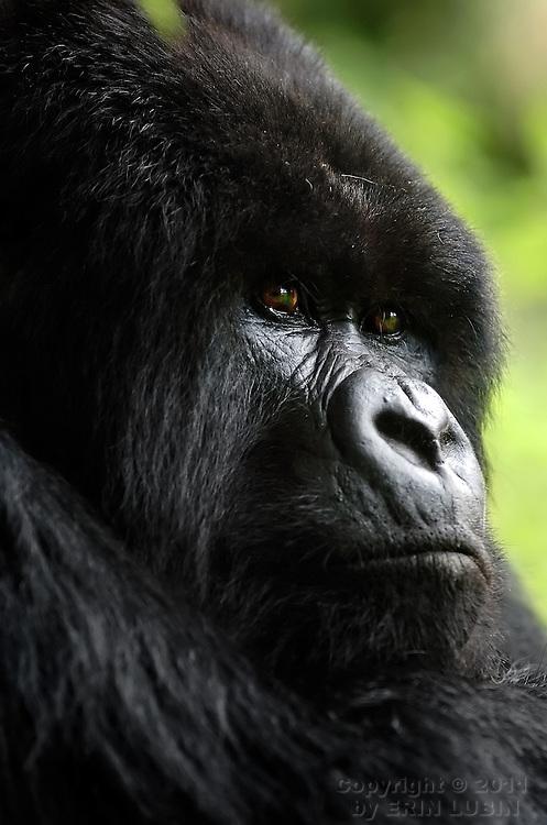 Mountain Gorilla, Volcanoes National Park, Rwanda, October, 2006..Photo by Erin Lubin